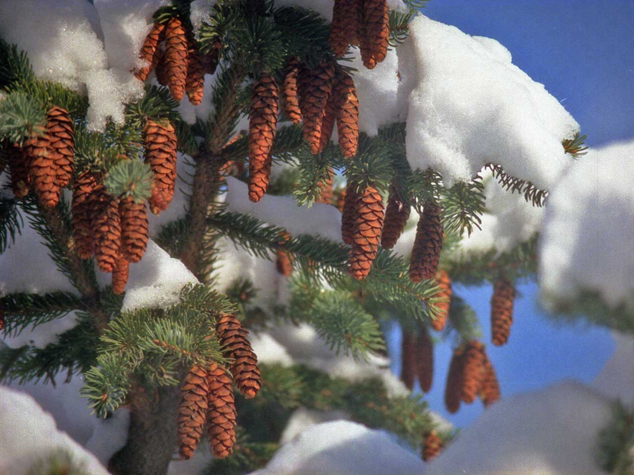 Winter Wallpaper With Pine Cones WInter Pine Cones Wallpaper Copyright Robin Wood